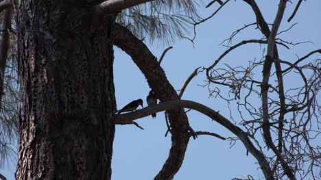 California-two-woodpeckers-sit-in-pine-tree