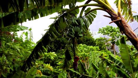 árbol-De-Plátano-Bora-Bora