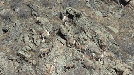 Colorado-sheep-climbing-on-rocks