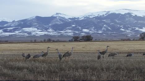 Colorado-Sandhill-cranes