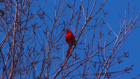 A-bright-red-cardinal-sits-in-a-tree