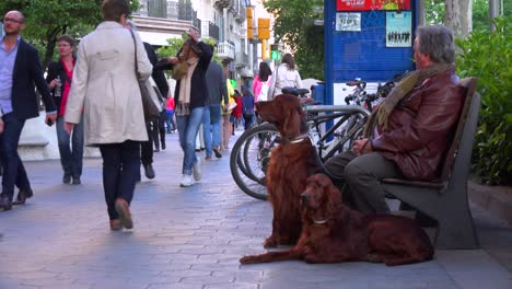 A-man-with-two-beautiful-Irish-setter-dogs-along-a-busy-street-in-Barcelona-Spain