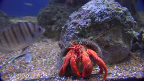 A-lobster-in-an-aquarium