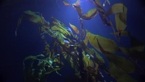 Seaweed-underwater