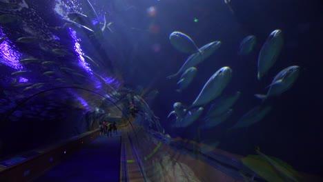 Fish-swim-through-an-underwater-tunnel-in-an-aquarium-display