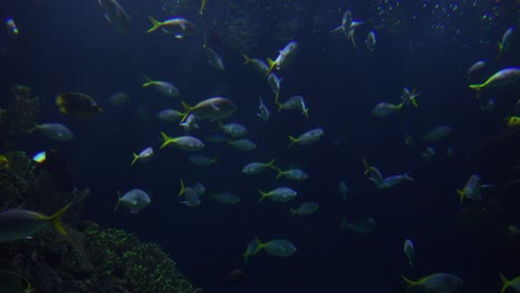 Tropical-fish-swim-underwater