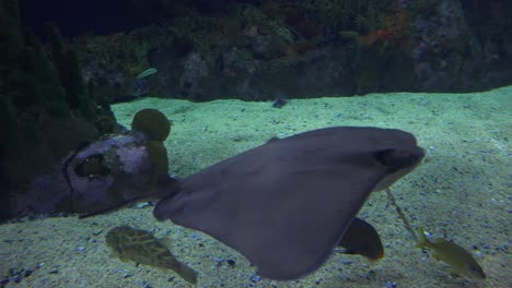 A-manta-ray-swims-underwater