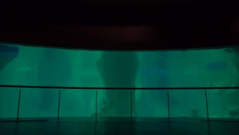 A-whale-swims-in-a-tank-in-an-aquarium