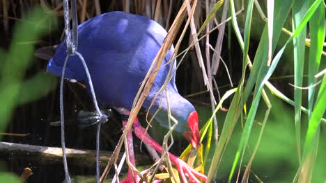 A-purple-swamp-hen-forages-for-food-in-a-wetlands-area