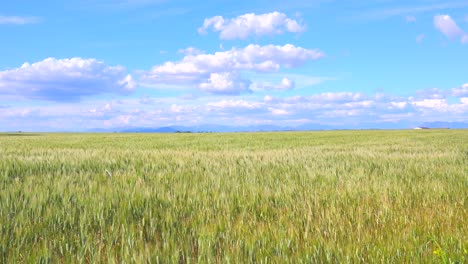 Beautiful-vast-open-fields-of-waving-grain-1