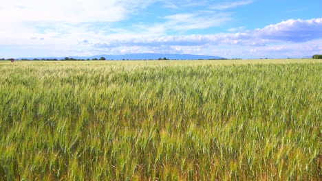 Beautiful-vast-open-fields-of-waving-grain-3