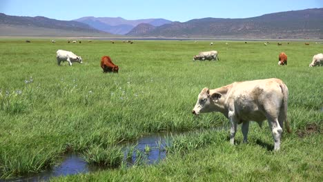Cows-graze-in-a-field