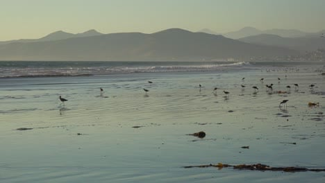 Shorebirds-pick-through-the-sand-along-California-s-central-coast