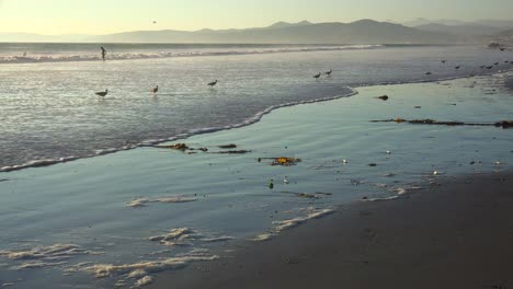 Shorebirds-pick-through-the-sand-along-California-s-central-coast-with-people-in-distance