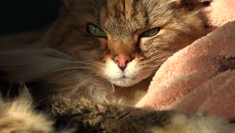 A-beautiful-maine-coon-cat-looks-up-from-sleep