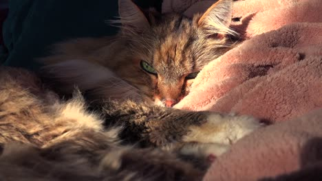 A-beautiful-maine-coon-cat-looks-up-from-sleep-1