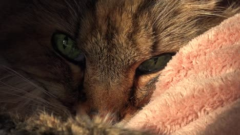 A-beautiful-maine-coon-cat-looks-up-from-sleep-2