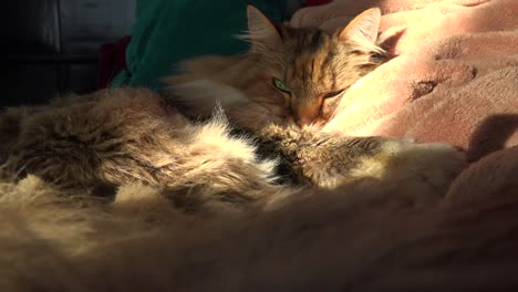 A-beautiful-maine-coon-cat-looks-up-from-sleep-3