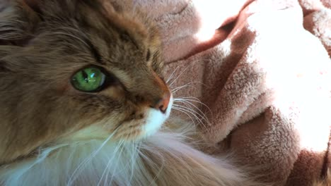 A-beautiful-maine-coon-cat-looks-up-at-the-camera-with-brilliant-green-eyes