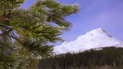 Los-Pinos-Crecen-Frente-Al-Majestuoso-Pico-Cubierto-De-Nieve-De-Mt-Hood-Oregon-2