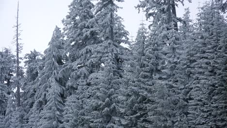 Beautiful-pine-trees-are-covered-with-frost-in-a-forest