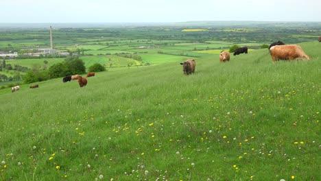 Cows-graze-on-a-hillside-above-terraced-green-fields-in-Great-Britain