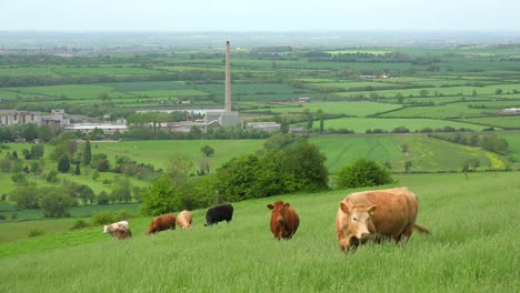 Cows-graze-on-a-hillside-above-terraced-green-fields-in-Great-Britain-1