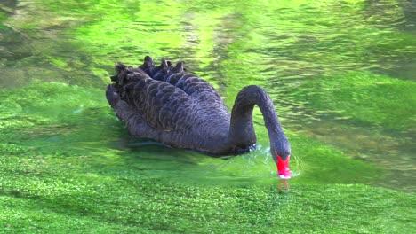 A-beautiful-black-swan-glides-along-a-green-stream