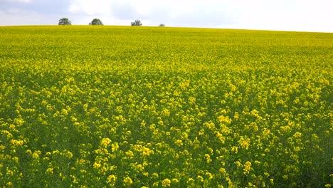 Hermosos-Campos-De-Flores-En-La-Campiña-Rural-De-Inglaterra