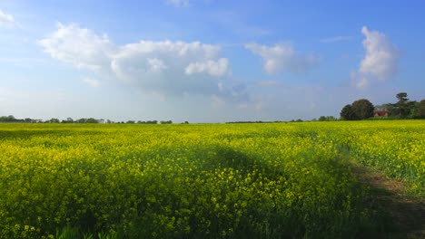 Pan-across-beautiful-fields-of-flowers-in-the-rural-countryside-of-England