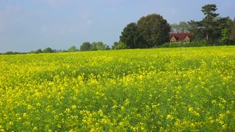 Beautiful-fields-of-yellow-flowers-with-a-cabin-distant-in-rural-England