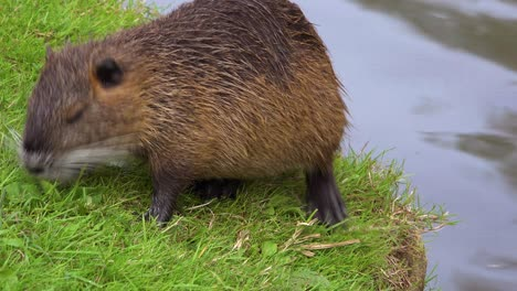 A-beaver-stands-along-the-shore-of-a-river