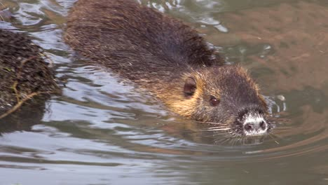 A-beaver-swims-in-a-river-1