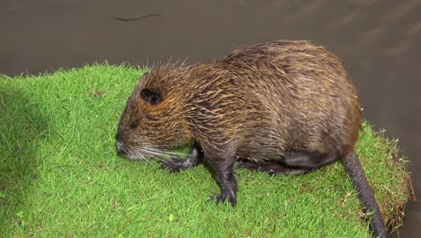 A-beaver-sits-on-the-banks-of-a-river-and-scratches