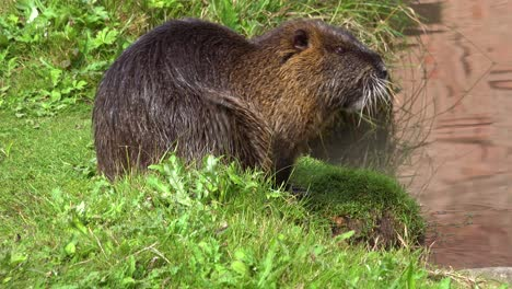 A-beaver-sits-on-the-banks-of-a-river-and-scratches-1