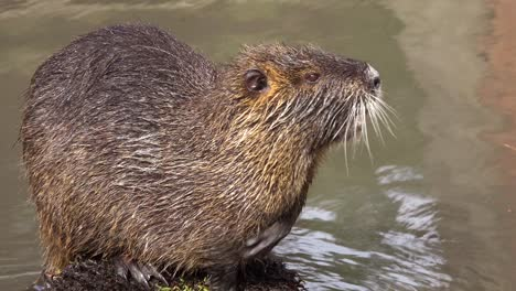 A-beaver-sits-on-an-island-in-a-brown-río