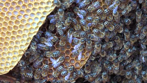 An-extreme-close-up-of-a-bees-swarming-in-a-beehive-1
