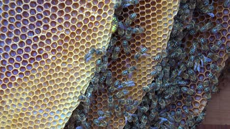 An-extreme-close-up-of-a-bees-swarming-in-a-beehive-2