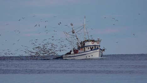 A-fishing-boat-comes-into-port-with-hundreds-of-seagulls-in-pursuit