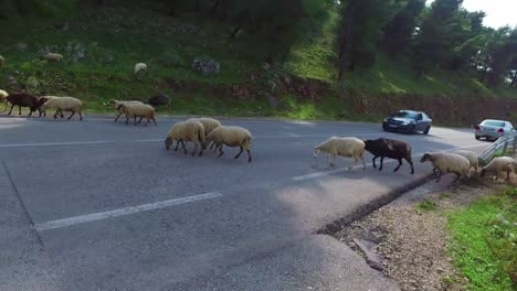 Albanian-shepherd-leads-his-sheep-across-a-paved-highway