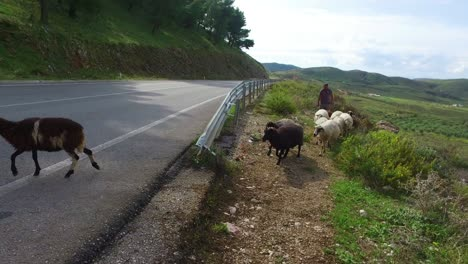 Albanian-shepherd-leads-his-sheep-across-a-paved-highway-1