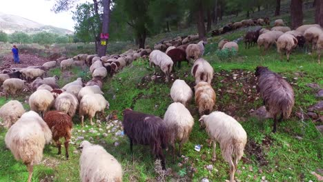 Albanian-shepherd-leads-his-sheep-across-a-paved-highway-2