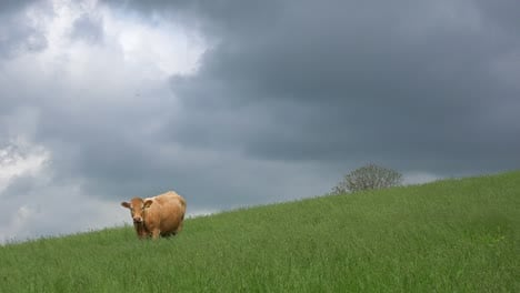 A-cow-grazes-in-a-green-field-as-lightning-strikes-in-the-distance
