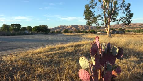 Cactus-grows-in-the-field-of-Central-California-1