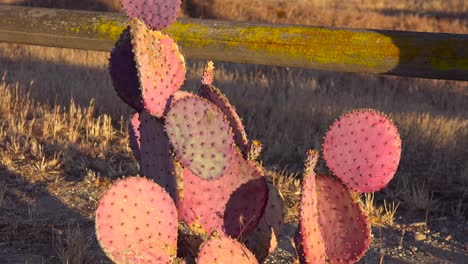 Cactus-grows-in-the-fields-of-Central-California-1