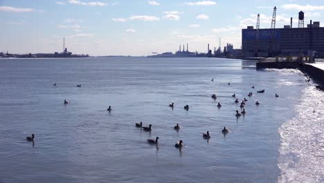 Ducks-and-Canada-geese-float-on-the-Detroit-Río-lined-with-factories-and-industrial-sites