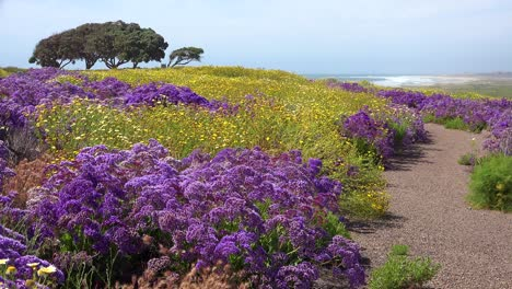 Beautiful-wildflowers-grow-along-the-California-coastline