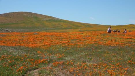 Una-Pareja-Se-Sienta-En-Un-Enorme-Campo-De-Flores-Silvestres-De-Amapola-De-California