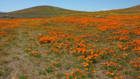 Pan-across-a-beautiful-field-of-California-poppy-wildflowers
