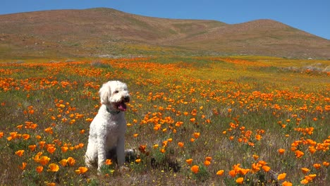 A-white-golden-doodle-dog-sits-in-a-beautiful-field-of-orange-poppies-and-wildflowers